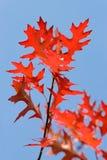 голубое небо дуба ветви вниз Стоковая Фотография RF