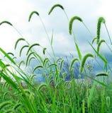 голубое небо зеленого цвета лисохвоста Стоковое Изображение RF