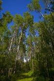 голубое небо зеленого цвета пущи стоковое изображение