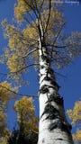 Голубое небо и поднимает желтое дерево стоковое изображение rf