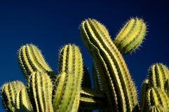 голубое небо кактуса Стоковые Изображения RF