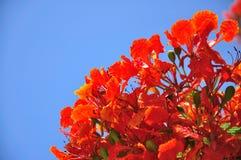 голубое небо красного цвета цветка Стоковые Изображения RF