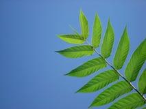 голубое небо листьев frond Стоковые Изображения