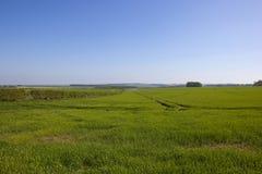 Голубое небо над пшеничными полями пустошей Йоркшира в весеннем времени Стоковое Изображение