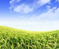 голубое небо неочищенных рисов поля Стоковая Фотография RF