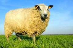 голубое небо овец травы Стоковое Изображение RF