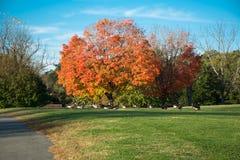 Голубое небо, оранжевое дерево, зеленая трава, сезон осени ветерка Стоковые Фотографии RF