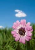 голубое небо пинка цветка стоковые изображения