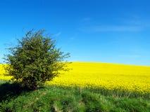 голубое небо поля canola Стоковое фото RF