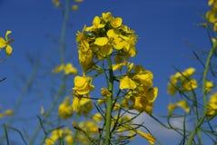 голубое небо рапса завода под желтым цветом стоковые фотографии rf