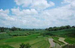 голубое небо риса поля Стоковое Фото