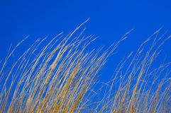 голубое небо сухой травы Стоковые Изображения