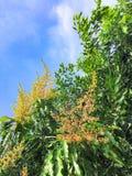 Голубое небо с деревым манго имеет много оранжевых цветков стоковые фото