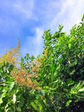Голубое небо с деревым манго имеет много оранжевых цветков стоковые изображения