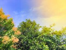 Голубое небо с деревым манго имеет много оранжевых цветков стоковая фотография rf
