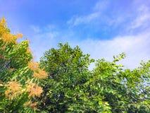 Голубое небо с деревым манго имеет много оранжевых цветков стоковые фотографии rf