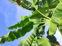 Голубое небо с зеленым цветом лист банана в сельской местности Таиланда стоковое фото