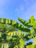 Голубое небо с зеленым цветом лист банана в сельской местности Таиланда стоковая фотография rf