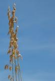 голубое небо травы одичалое Стоковая Фотография