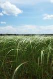 голубое небо травы пера Стоковое фото RF
