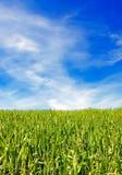 голубое небо травы поля Стоковая Фотография RF