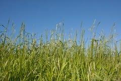 голубое небо травы Стоковая Фотография RF