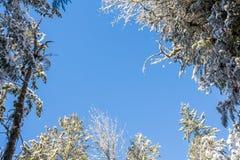 Голубое небо через снежные ветви дерева стоковые фотографии rf