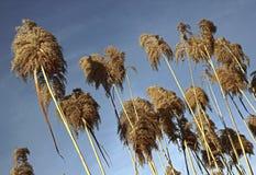 голубое небо bulrushes Стоковые Фотографии RF
