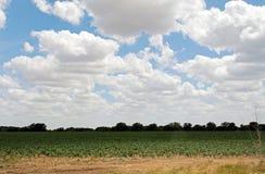 голубое небо texas поля хлопка вниз стоковое фото