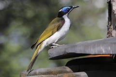 голубое ое honeyeater Стоковые Изображения