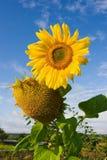 голубое пасмурное над солнцецветом неба Стоковые Фотографии RF
