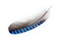голубое перо jay стоковые изображения rf