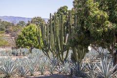 Голубое поле столетника и кактуса Стоковое Изображение