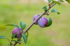 Голубое растущее плодоовощей сливы на дереве Стоковое фото RF