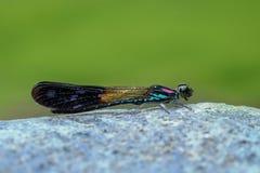 Голубое розовое Damselfy/муха/Zygoptera дракона сидя на утесе/камне реки Стоковые Изображения RF