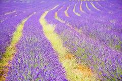 Голубое романтичное поле лаванды, Провансаль, Франция стоковые изображения rf