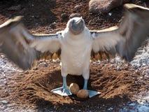голубое яичко олуха footed Стоковая Фотография
