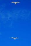 голубое ясное небо чайок летания Стоковые Фото