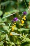 голубое cowwheat (nemorosum) Melampyrum, pansy стоковая фотография