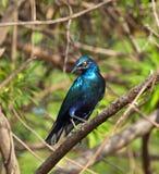 голубое eared лоснисто меньшие starling стоковые фото