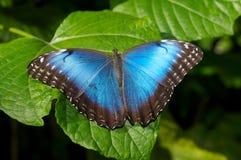 голубое morpho бабочки Стоковые Изображения RF