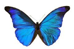 голубое morpho бабочки Стоковые Изображения