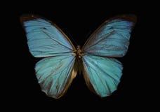 голубое morpho бабочки Стоковая Фотография RF