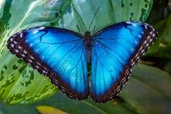 Голубое Morpho, peleides Morpho, большая бабочка сидя на зеленых листьях, красивое насекомое в среду обитания природы, живая прир стоковые изображения rf