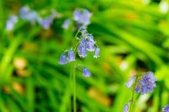 Голубое ` s колокола в весеннем времени Стоковое Изображение RF