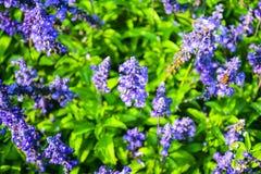 Голубое salvia или мучнистый шалфей чашки Стоковое Изображение