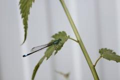 Голубое sist дракон-мухы на зеленом листе Стоковое Фото