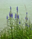 Голубое spicata Вероники цветет на банке реки Стоковые Фотографии RF