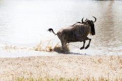 Голубое taurinus Connochaetes антилопы гну бежать в воде Стоковое Фото