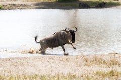 Голубое taurinus Connochaetes антилопы гну бежать в воде Стоковое фото RF